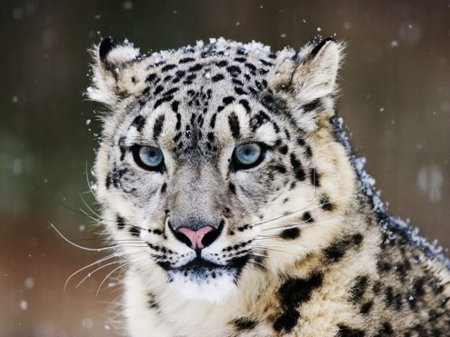 snow leopard pictures. snow leopard 1