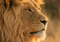 lion500