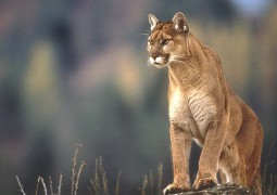 Sfondi OS X Mountain Lion