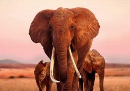 apple the elephant queen